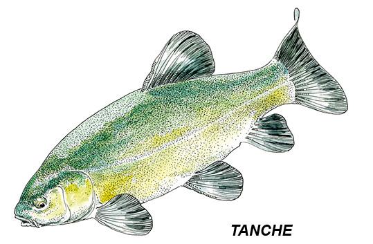 tanche