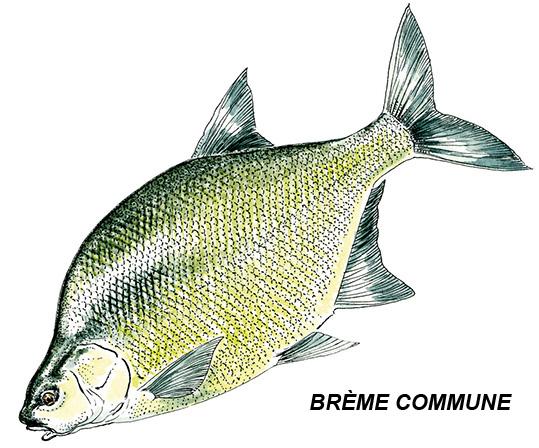 brème-commune