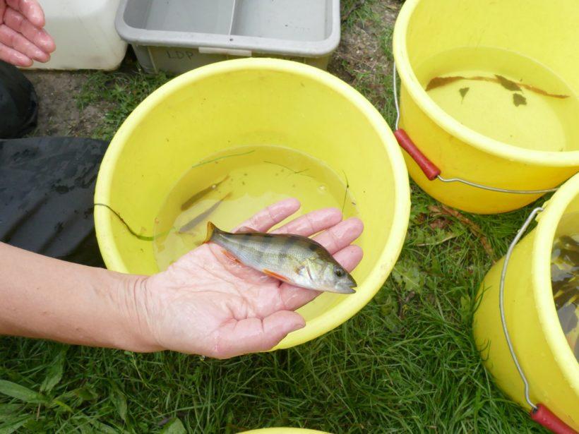 Pêche électrique inventaire piscicole septembre 2019